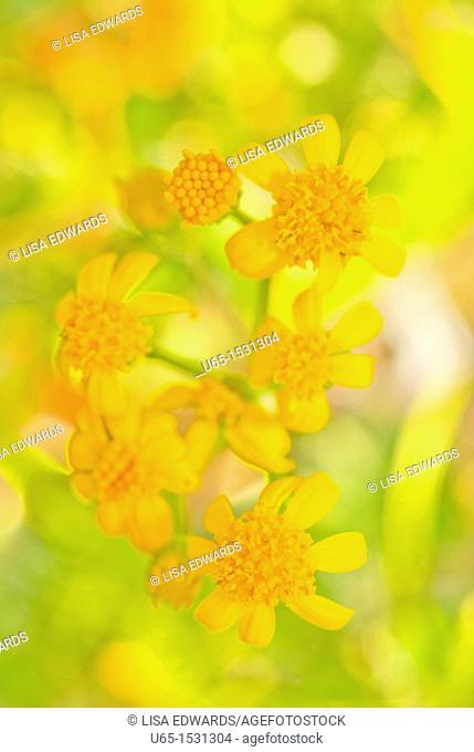 Yellow wildflowers, Ouray, Colorado, USA