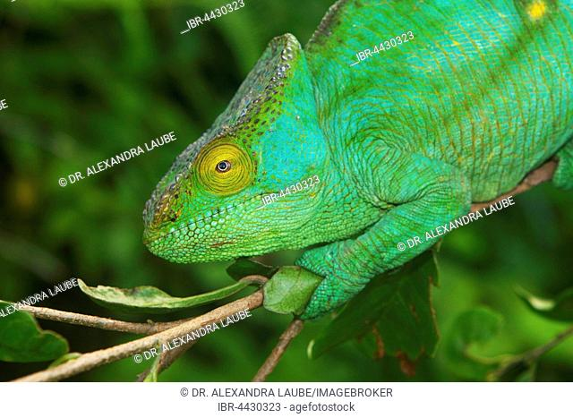 Parson's chameleon (Calumma parsonii parsonii) on branch, pregnant female, portrait, yellow giant colour variation, Vohimana Reserve, eastern Madagascar