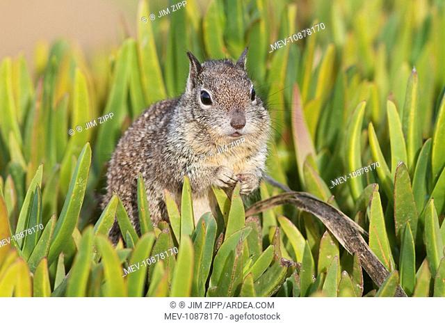 California Ground Squirrel (Spermophilus beecheyi). Lajolla cliffs in San Diego, California, USA in January