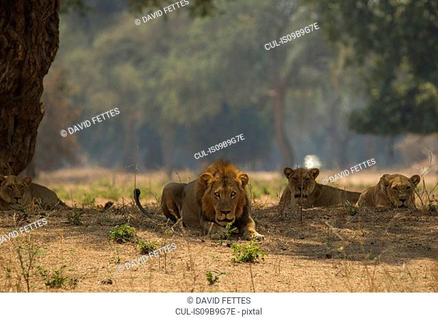 Portrait of lion and lionesses (Panthera leo) lying in tree shadow, Chirundu, Zimbabwe, Africa