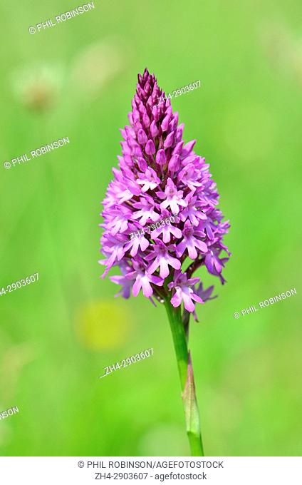 Pyramid or Pyramidal Orchid (Anacamptis pyramidalis) growing in a field in Kent, England, late June 2017