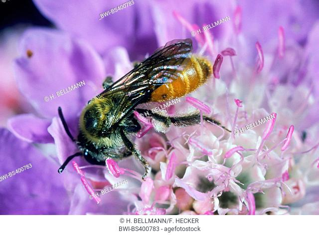 Small Scabious Mining-bee (Andrena marginata), on a scabious flower, Germany