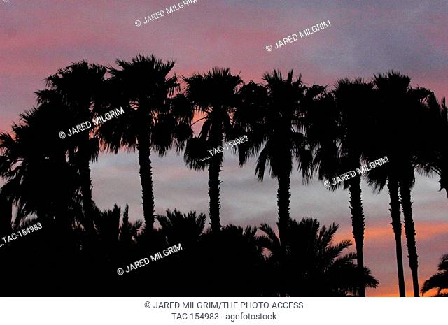 Sunset palm trees at the 2011 Coachella Music Festival on March 17, 2011 in Indio