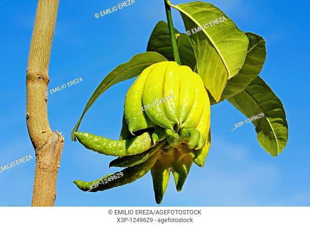 Buddha's hand Citrus medica sarcodactylus