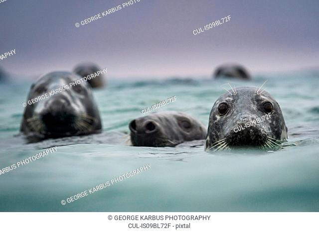 Group of grey seals (Halichoerus grypus), head above water, Great Blasket Island, Dingle, Kerry, Ireland