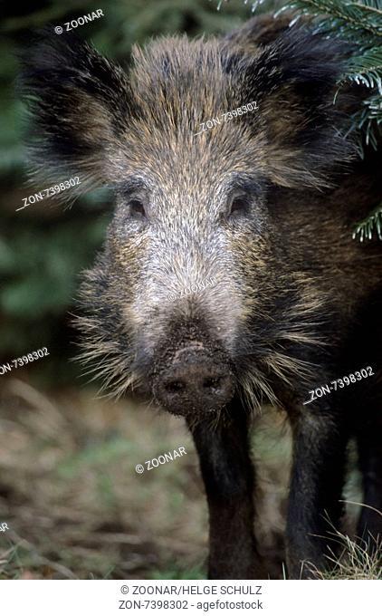 Wild Boar older piglet portrait