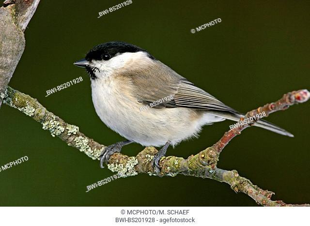 Marsh tit (Poecile palustris, Parus palustris), sitting on a branch, Germany, Rhineland-Palatinate