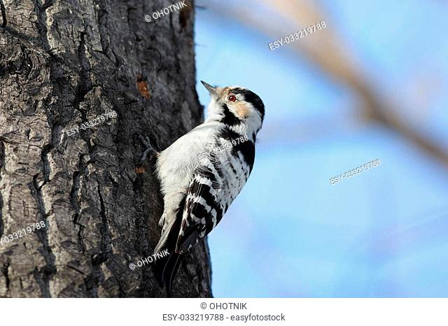 Female Lesser-spotted woodpecker sitting on a tree