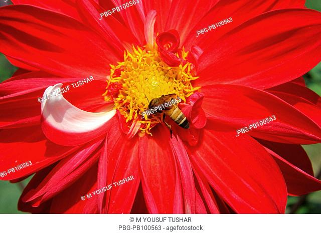 The beautiful Dalia Dahlia flower Bangladesh Dalia is a flowering plant from Mexico There are about 30,000 species Plants come in a wide array of sizes and...