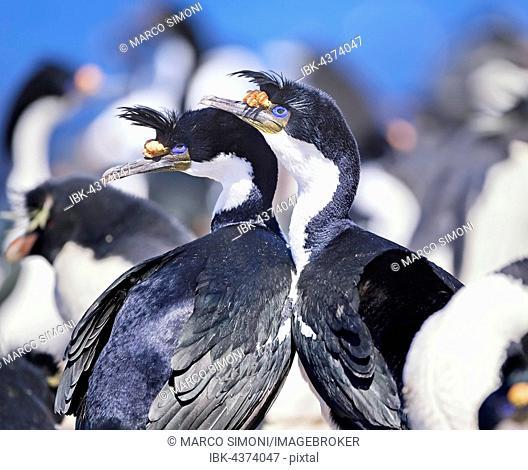 King cormorants (Phalacrocorax atriceps), Sea Lion Island, Falkland Islands