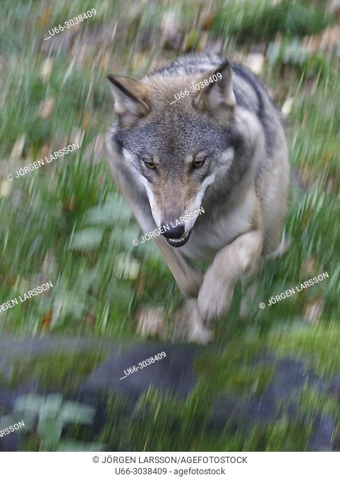 Wolf (Canis lupus), Dalarna, Sweden