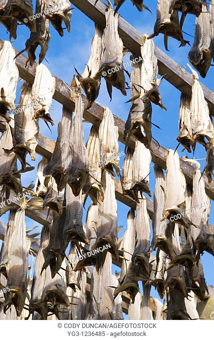 Cod Stockfish on wood drying racks, Lofoten, Norway