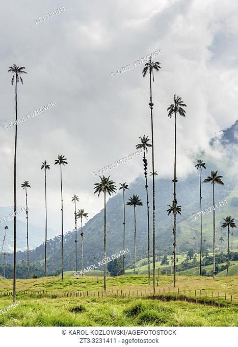 Wax Palms (Ceroxylon quindiuense), Cocora Valley, Salento, Quindio Department, Colombia