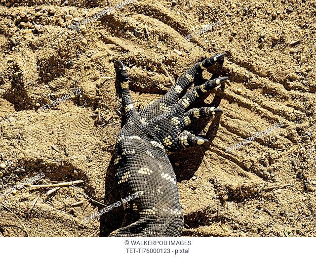 Close-up of claws of goanna (Varanus varius) in sand