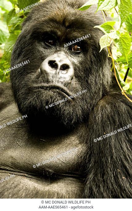 Mountain Gorilla (Gorilla beringei beringei) Sabinyo Group, in the vegetation of Volcanos NP, Rwanda