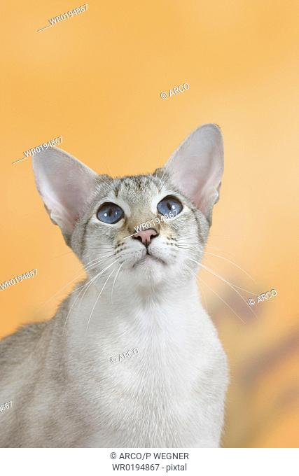 Siamese, Cat, seal-tortie-tabby-point