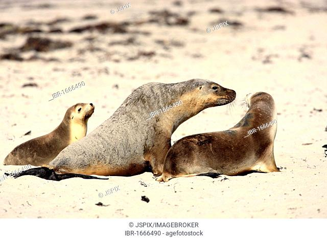 Australian sea lion (Neophoca cinerea), female adult and young, ten months, on the beach, social behavior, Kangaroo Island, Australia