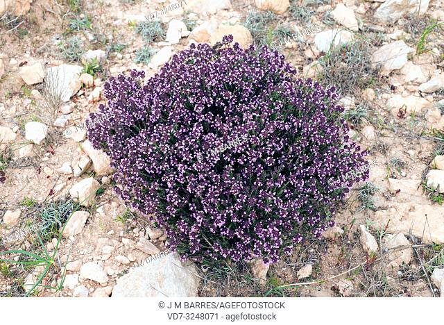 Tomillo de invierno (Thymus hyemalis) is a subshrub endemic to southeastern Spain, from Alicante to Granada. This photo was taken in Almeria province, Andalucia