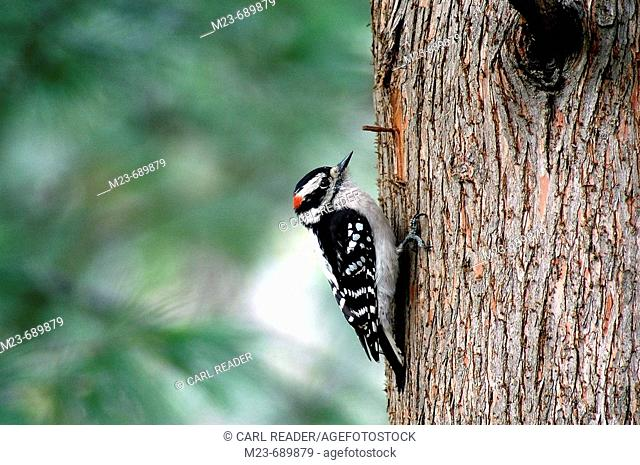 A male downy woodpecker, Picoides pubescens, climbs up the truck of a tree, Pennsylvania, USA
