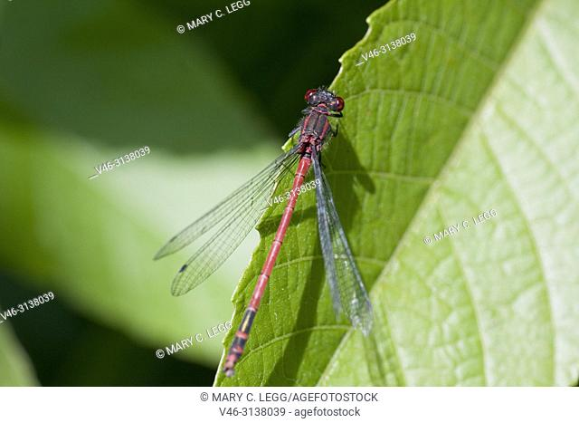 """Male Large Red Damselfly, Pyrrhosoma nymphula is a European damselfly with extended area into North Africa. Length 33â. """"36 mm. Sexually dimorphic"""