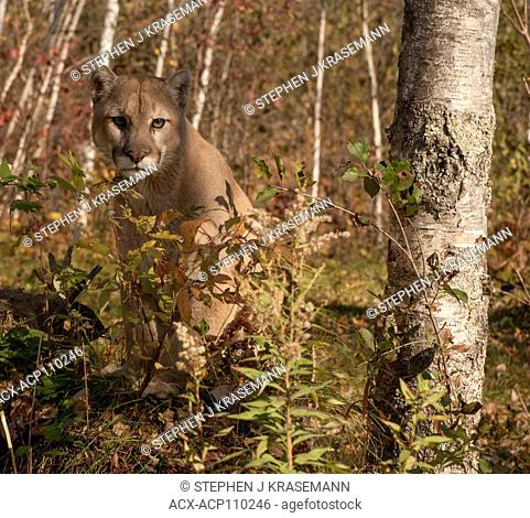 Cougar or mountain lion (Puma concolor), captive, standing in autumn colored forest. Camouflaged
