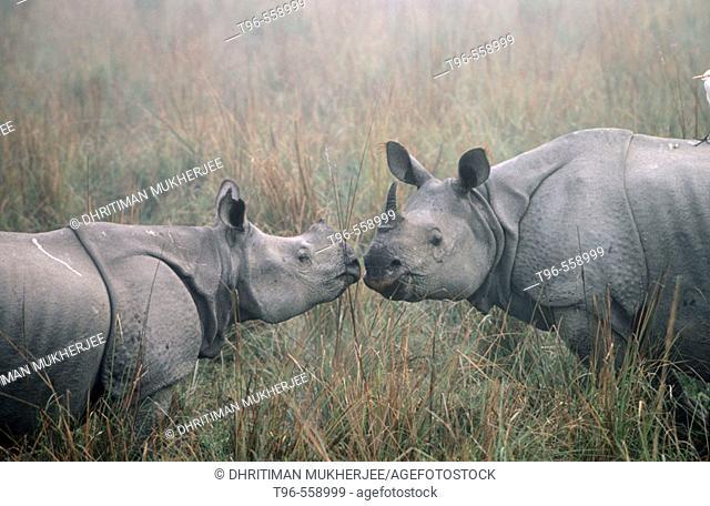 Indian one horwes rhinoceros. Kaziranga National Park. India