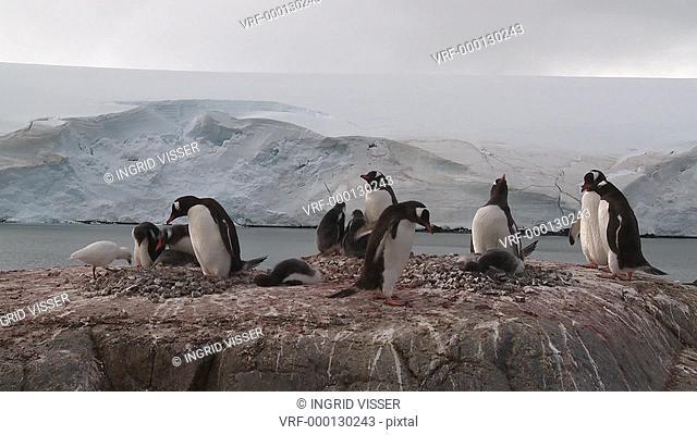 Gentoo penguin Pygoscelis papua small colony with snowy sheathbill Chionis alba. Sub Antarctic islands