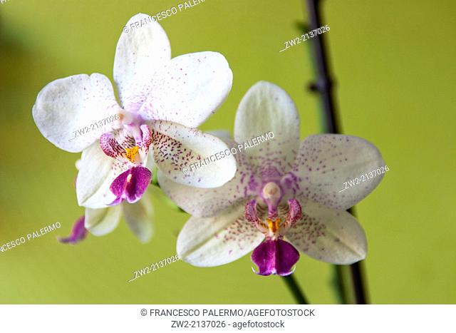 Orchids on green background. Vigevano, Lombardia. Italy