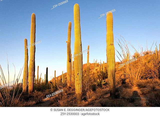 Red from the last rays of sun, Giant Saguaro Cactus (Carnegiea gigantea), Saguaro West National Park, Tucson, Arizona