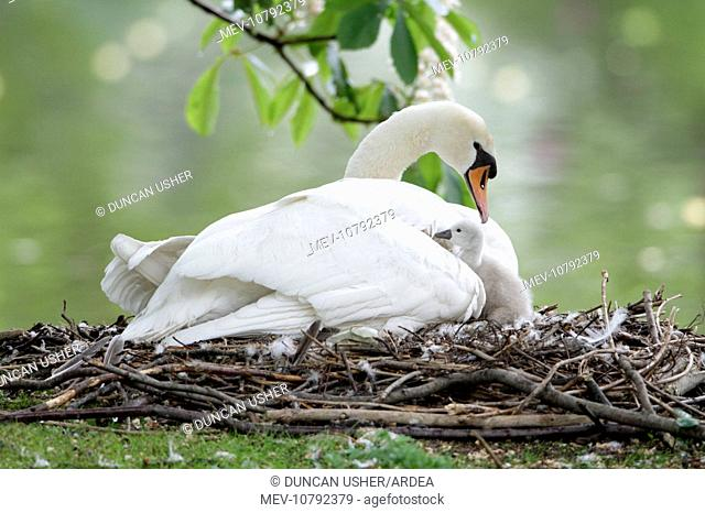 Mute Swan - adult with cygnet at nest (Cygnus olor)