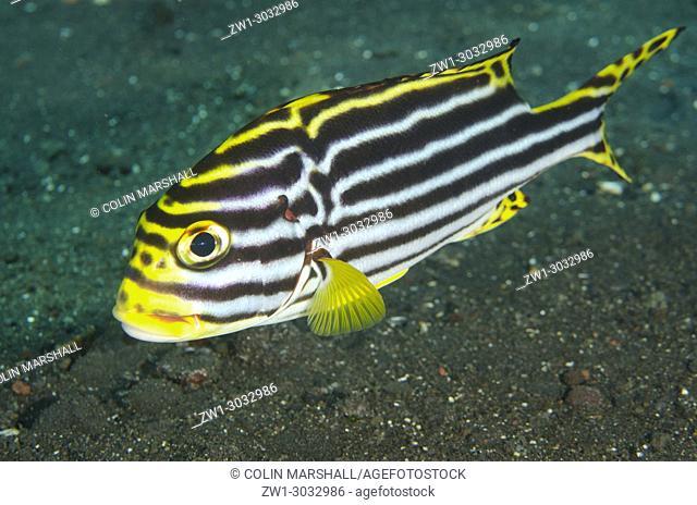 Oriental Sweetlips (Plectorhinchus vittatus), Fish; Liberty Wreck dive site, Tulamben, Bali, Indonesia