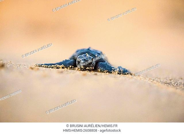 France, Guiana, Cayenne, Remire-Montjoly beach, olive Ridley juvenile turtle (Lepidochelys olivacea) leaving the nest to reach the ocean in the early morning