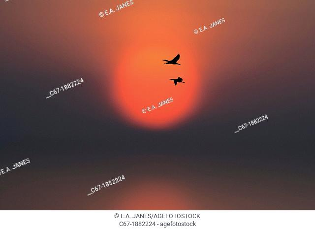 Cormorants Phalacrocorax carbo going to roost at sunset