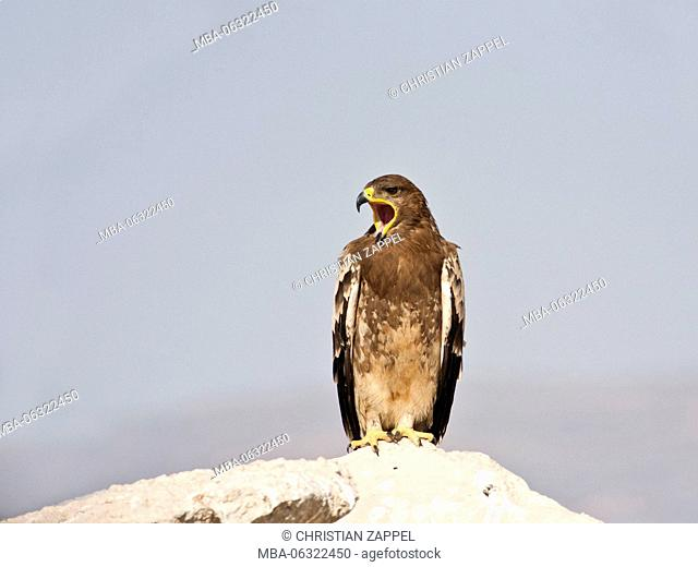 Steppe Eagle, Aquila nipalensis, Oman