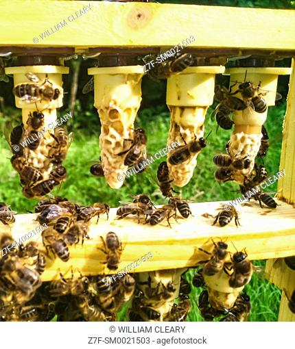 A frame of queen cells in a queen rearing apiary