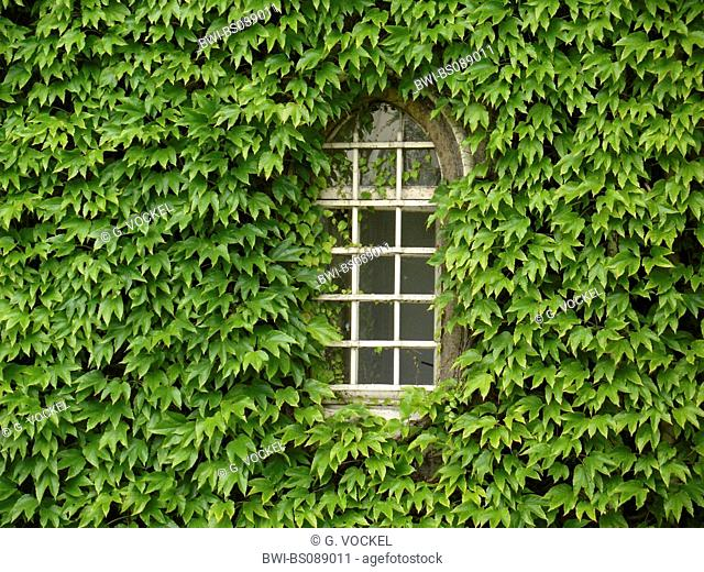 Boston ivy, Japanese creeper (Parthenocissus tricuspidata), Old window framed by green ivy with gothic arch at the University of Cambridge, United Kingdom