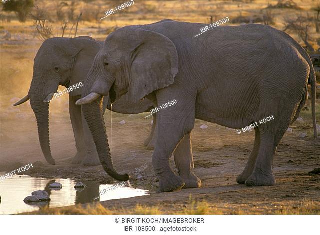 Two Elephants ( Loxodonta africana ) drinking at a waterhole in the evening, Etosha national Park, Namibia