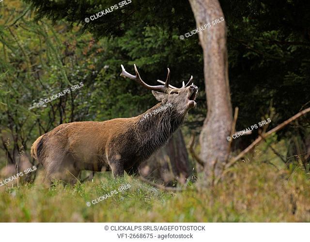 Stelvio National Park,Lombardy,Italy. Deer