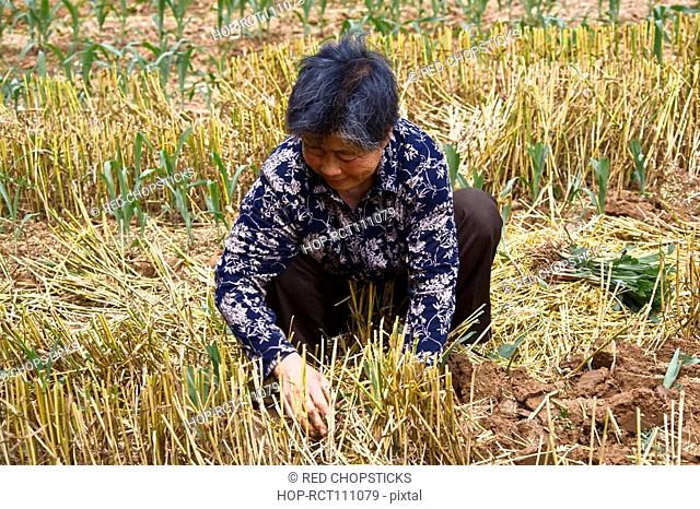 Mature woman working in a field, Zhigou, Shandong Province, China