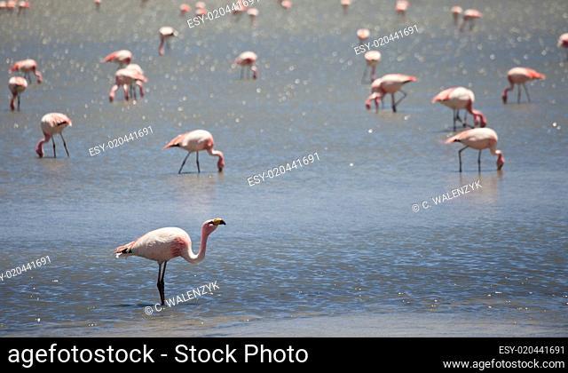 Flamingos in Lagune, Bolivien