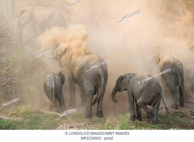 An elephant herd, Loxodonta africana, have a dust bath, sand on their backs, trunks in the air, dusty air
