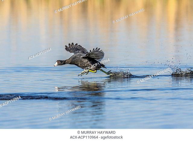 American Coot (Fulica americana) Showing territoral protection behavior, Frank Lake, Alberta, Canada