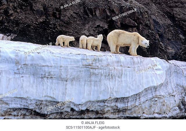 Polar Bear Ursus Maritimus mother with three cubs on an ice terrace WilhelmØya, Svalbard
