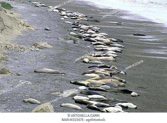 america, argentina, chubut, peninsula valdés, elephant seals, caleta valdés