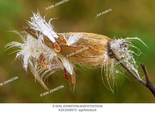 Common milkweed (Asclepias syriaca) Raindrops on seeds and bursting seedpods, Greater Sudbury, Ontario, Canada