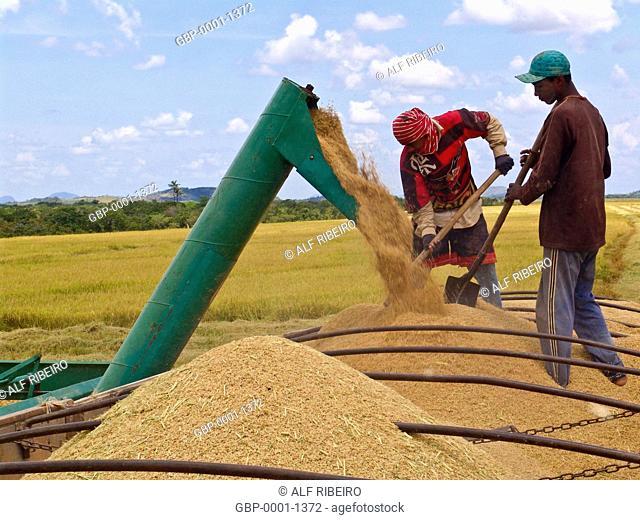 Mechanized harvesting, rice, Indigenous, Raposa do Sol, Pacaraima, Roraima, Brazil