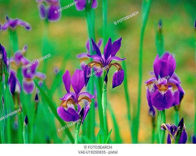 plants, nature, blueflag, flower, plant, film