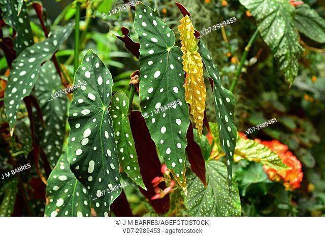 Begonia (Begonia coccinea) is an ornamental plant with very beautiful leaves