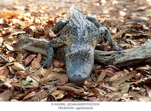 American Aligator