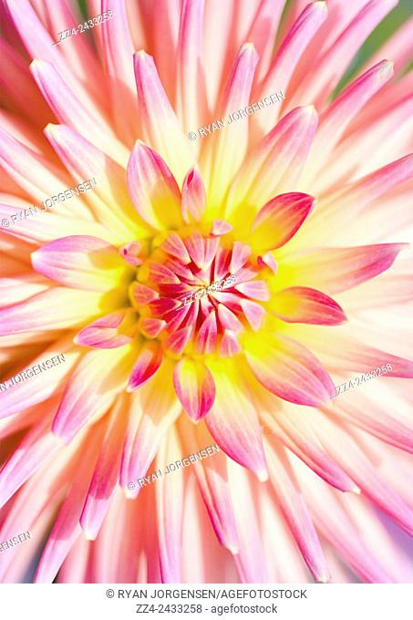 Bright vibrant nature photo in full color of a macro dahlia flower with open pink and yellow petals. Beauty in spring